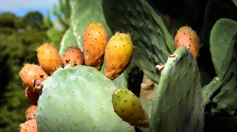Alles wat je wil weten over veganistisch cactusleer uit Mexico