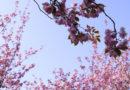 PANGAIA verft kleding met bloemblaadjes van de kersenboom